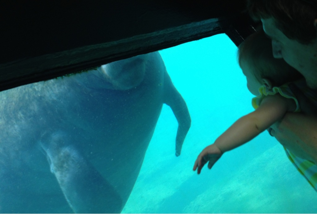 Manatee, up close